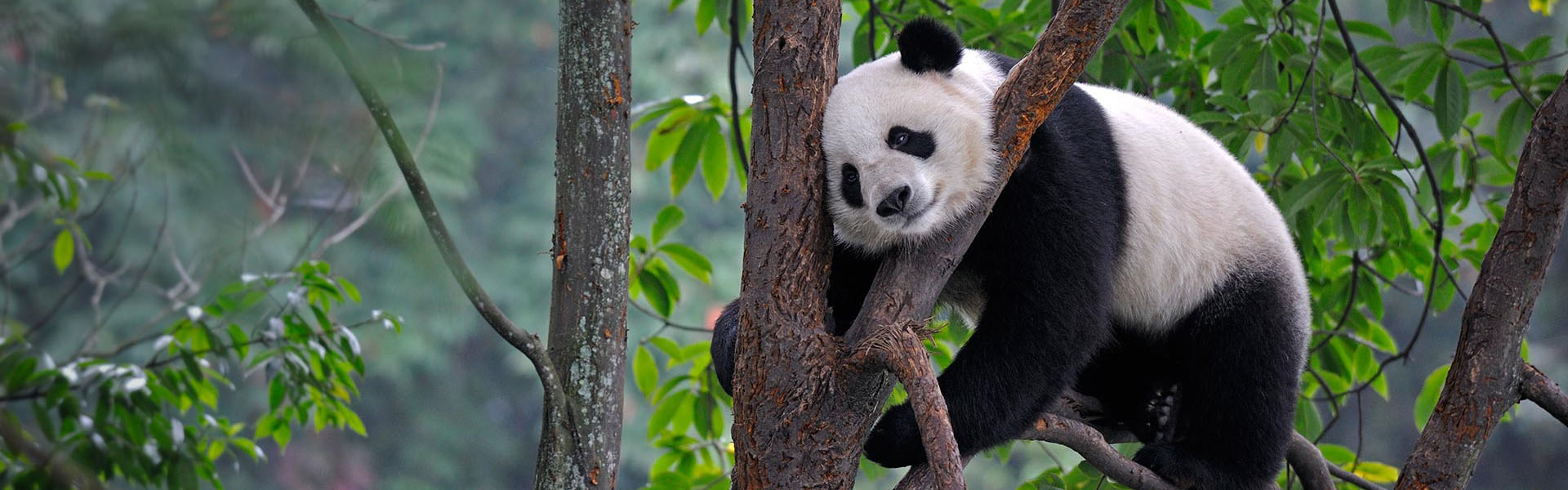 Giant Pandas, a national treasure of China